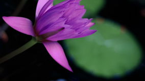 Water lilly stock footage