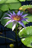 Water lilly. Purple water lillies Stock Images