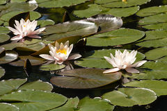 Water lilly Royalty-vrije Stock Fotografie