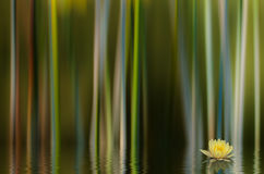 Water Lilly Abstract. A Yellow Water Lilly with an Abstract Background royalty free stock images