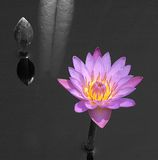 Water lilly, B&W background Royalty Free Stock Photos