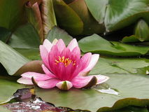 Water Lilly Stock Image