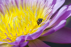 Water lilly and Bee. Bee and yellow purple water lilly Stock Images