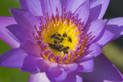 Water lilly and bees. Close up of water lilly and bees in garden pond Royalty Free Stock Photo