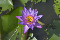 water lilly and bees Stock Image