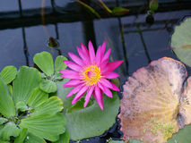 Water lilly, bloem. Stock Foto's
