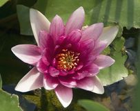 Water Lilly Bloom Stock Afbeeldingen
