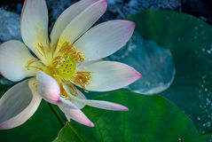 Water Lilly in Bloom Royalty Free Stock Images