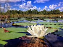 Water Lily. Blooms during a hot summer day Royalty Free Stock Image