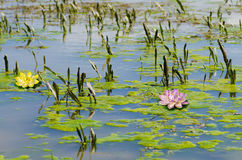 Water Lilly. Blossoms in summer day royalty free stock photo