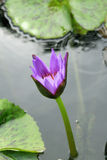 Water lilly bud Stock Images