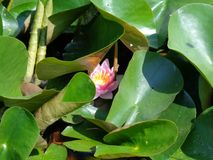 Water Lilly- de mooiste aquatische installaties stock afbeeldingen