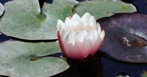 Water lilly stock videobeelden