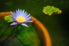 Water lilly in de tuin Stock Foto's