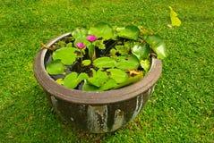 Water lilly in een pot Royalty-vrije Stock Foto's