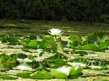 Water Lilly en Lilly-stootkussens op het kanaal Royalty-vrije Stock Foto
