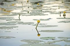 Yellow water lilly. Water lilly at evening lake royalty free stock photo