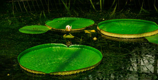 Water Lilly flower. Beautiful water lilly flower at botanic garden Stock Image
