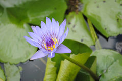Water lilly flowering Stock Image