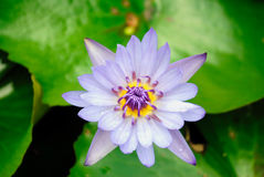Water lilly flowering Stock Photos