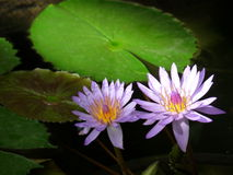 Water lilly flowers Stock Photos