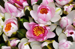 Water lilly flowers background. A bunch of water lilly flowers sold in the flower market Royalty Free Stock Images