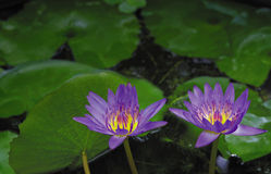 Water lilly flowers. Beauty water lilly flowers in a deep pond stock images