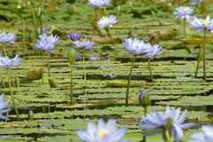 Water Lilly Flowers Galore. Mass of purple blue water lilly flowers across a still body of water Stock Photos