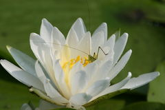 Water lilly and grasshopper Stock Image