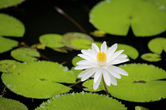 Water lilly with green leaves Stock Photo