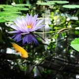 Water lilly and koi Royalty Free Stock Images