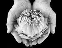 Water lilly on lady hand Stock Image