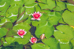 Water lilly. Royalty Free Stock Photos