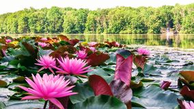 Water Lilly Stock Photo