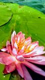 Water Lilly Stock Images