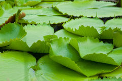 Water lilly leaves Stock Image