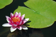 Water Lilly & Lilly Pad. Pink and White Lilly floats next to a lilly pad Stock Photography