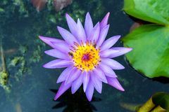 Water lilly, Lotus Stock Afbeeldingen