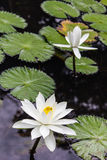 Water lilly, Lotus Royalty Free Stock Photography