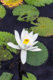 Water lilly, Lotus Stock Image