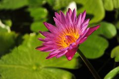 Water lilly lotus in the pond Stock Photos