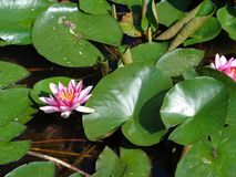 Water Lilly- the most beautiful aquatic plants. Water lilies are a well studied clade of plants because their large flowers with multiple unspecialized parts stock photography