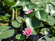 Water Lilly- the most beautiful aquatic plants. Water lilies are a well studied clade of plants because their large flowers with multiple unspecialized parts royalty free stock images