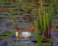 Water Lilly. In the Okefenokee Swamp royalty free stock photography