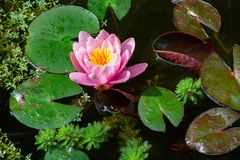 Water lilly and other aquatic plants in a pond stock photography