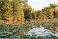 Water Lilly pads floating in lake martin Royalty Free Stock Photo