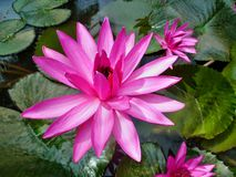 Water Lilly pink color Royalty Free Stock Photo