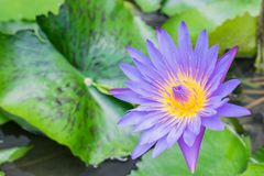 Water lilly in the pond royalty free stock photography