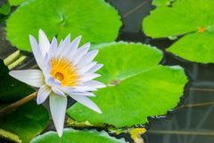 Water lilly in the pond stock images