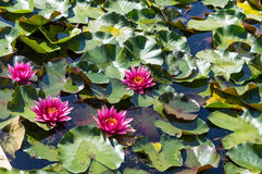 Water lilly in a pond. stock photos